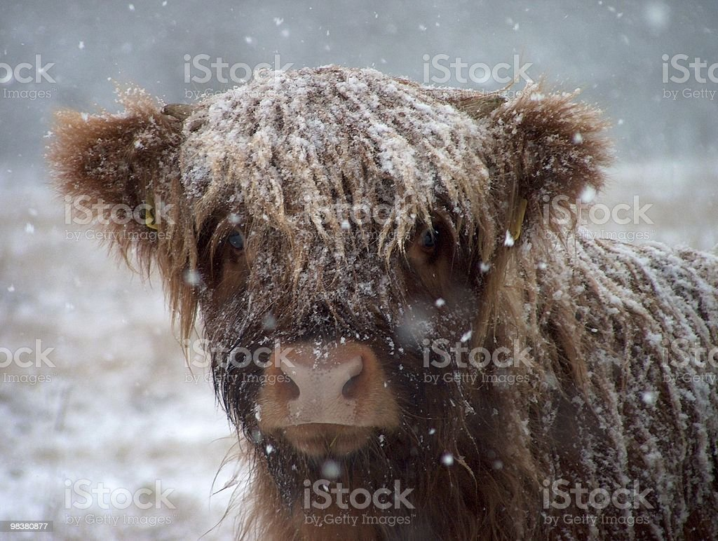 Scottish highlander royalty-free stock photo