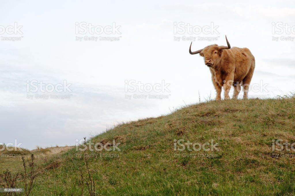 Scottish highlander with big horns stock photo