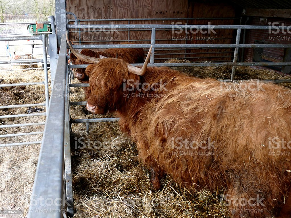 Scottish highlanders in barn side view stock photo