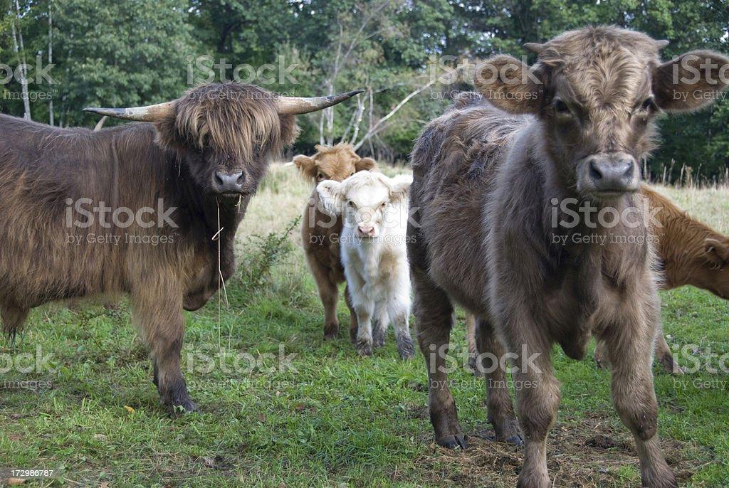 Scottish Highlands Cattle royalty-free stock photo