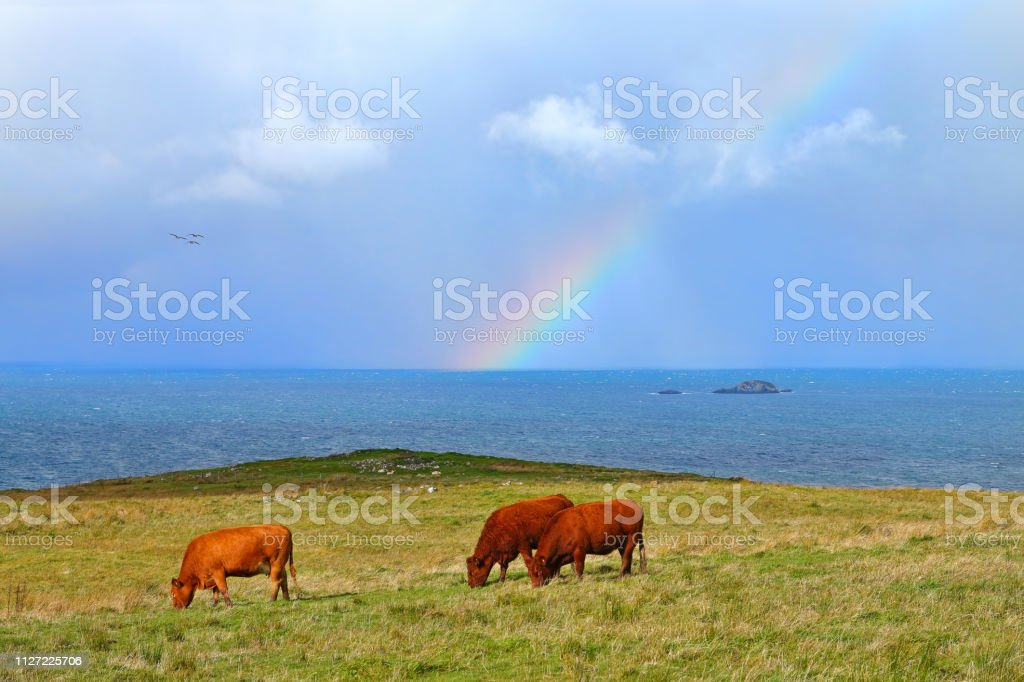 Scottish Highlands Cows stock photo