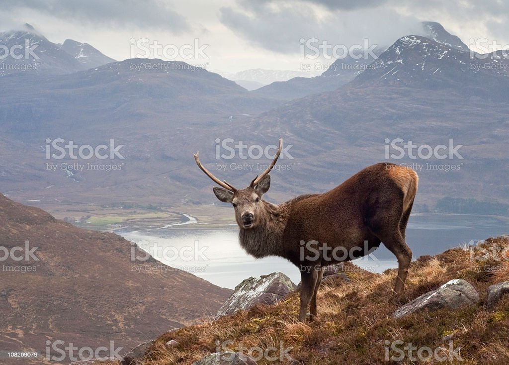 Scottish highlands, wild stag royalty-free stock photo