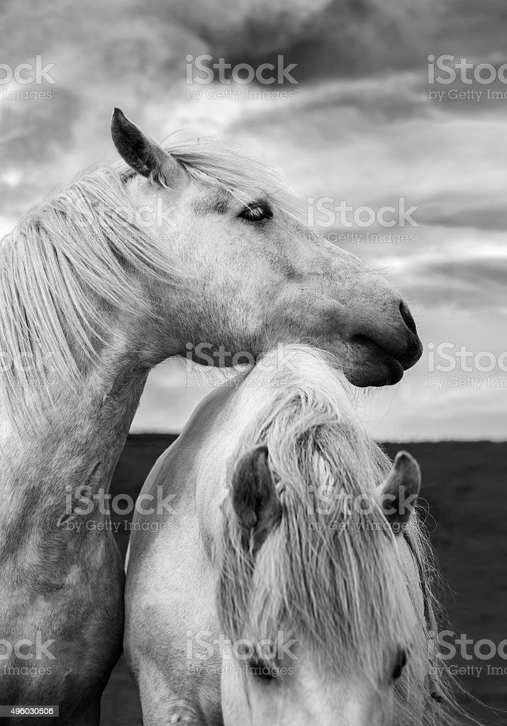 Schottische Pferde – Foto