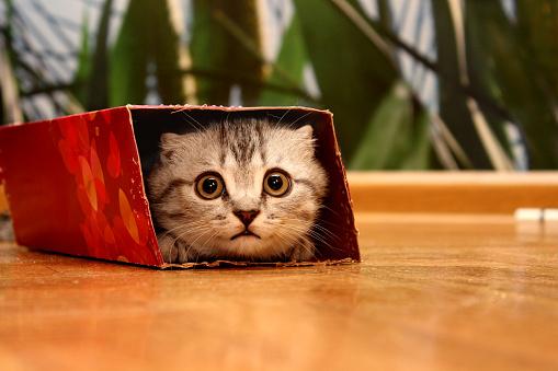 Scottish kitten peeking in the box.