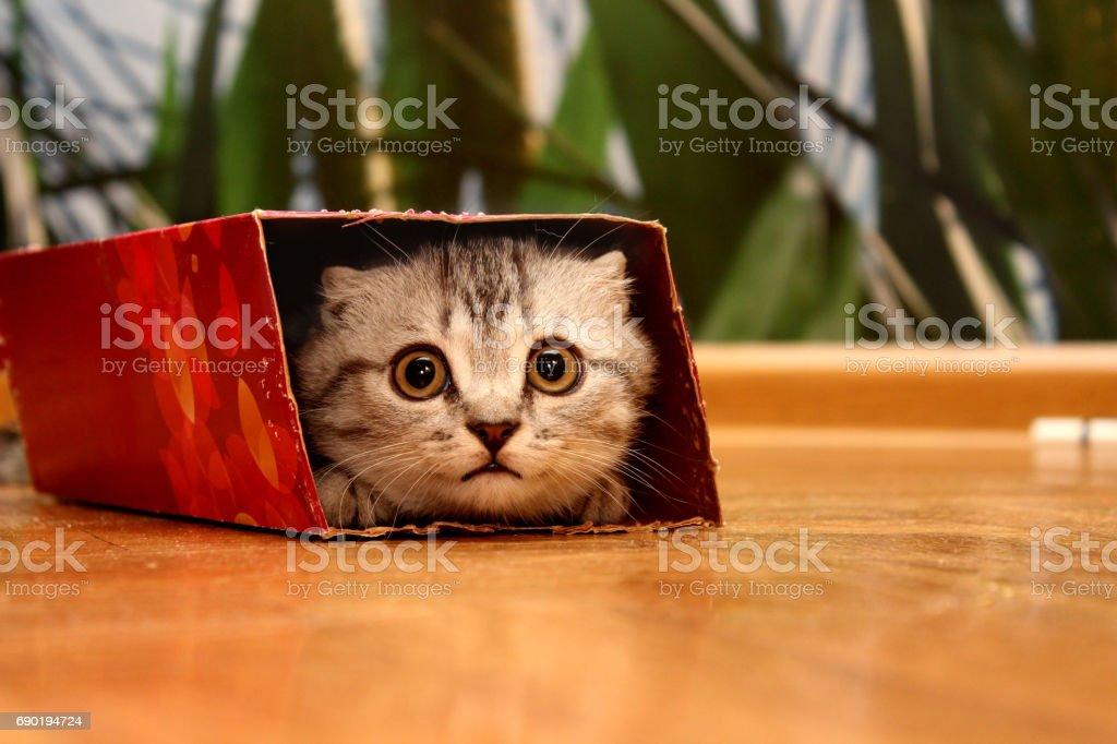 Gatito Scottish leerlo en la caja. - foto de stock