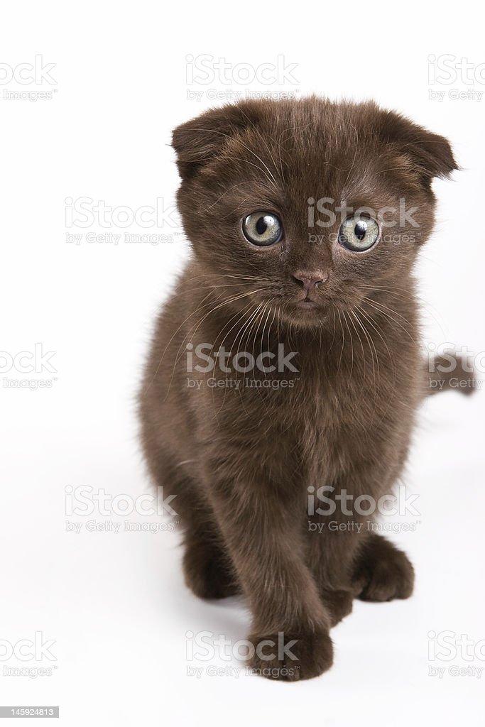 Scottish kitten royalty-free stock photo