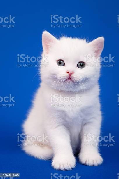 Scottish purebred cat picture id479972665?b=1&k=6&m=479972665&s=612x612&h=xmkqov4yk00q2cci e5j45qgbx82e6 clqrofgnh7im=