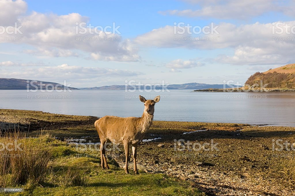 Scottish Red deer hind at the sea shore stock photo