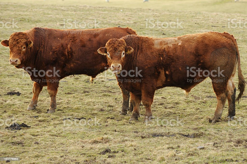 Scottish rural scene with two Limousin bulls in a field stock photo
