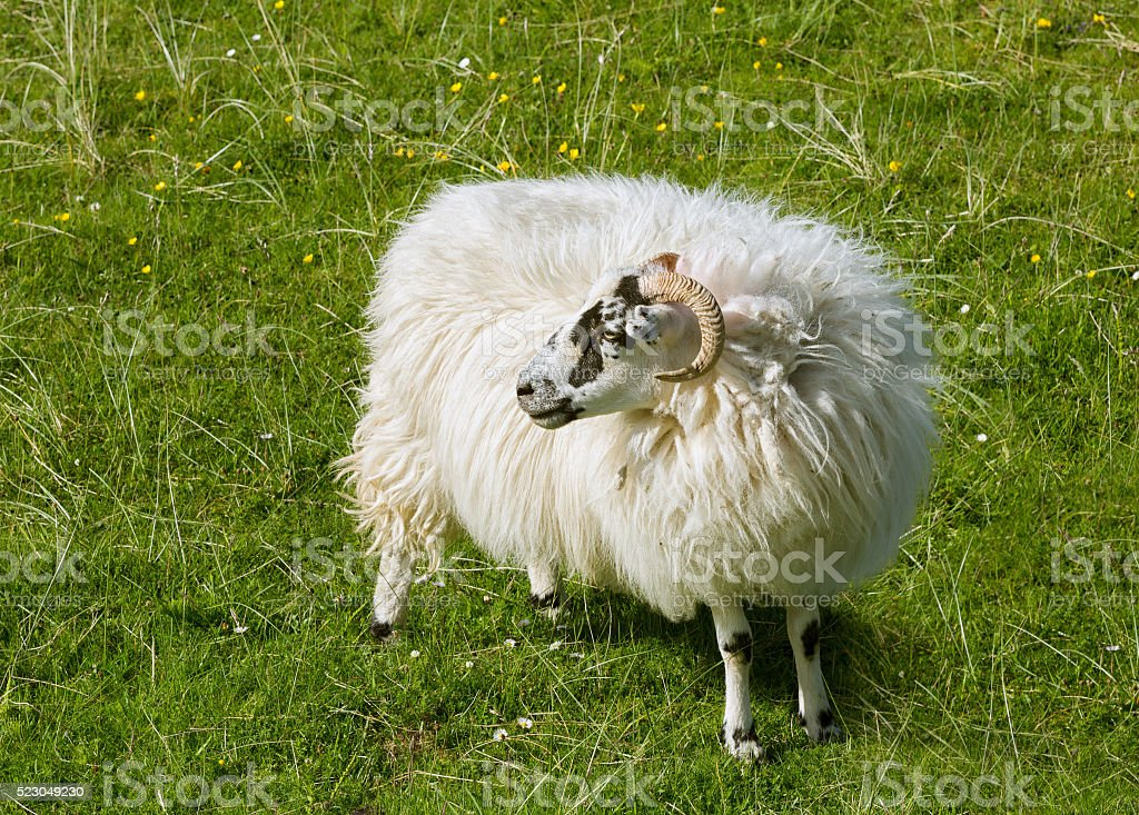 Scottish sheep in meadow stock photo