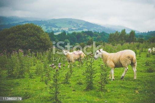 Scottish sheeps on the grassland