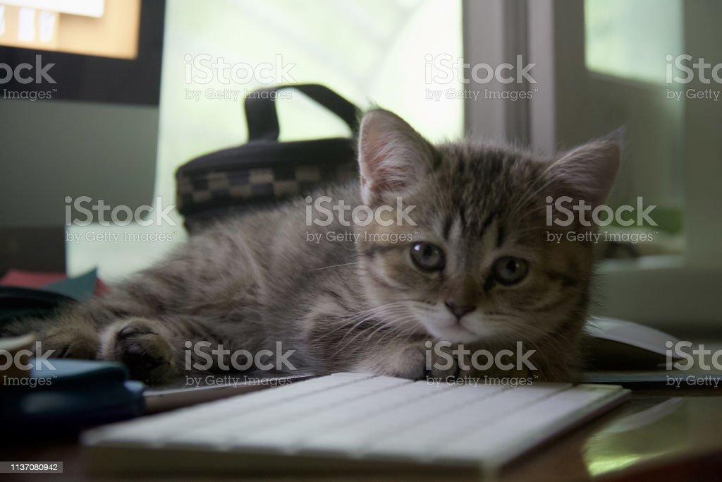 Scottish staight kitty stock photo