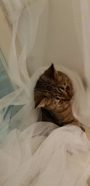 Cтоковое фото Scottish straight cat