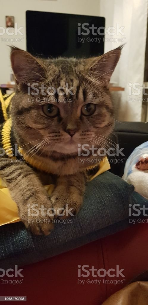 Scottish straight cat стоковое фото