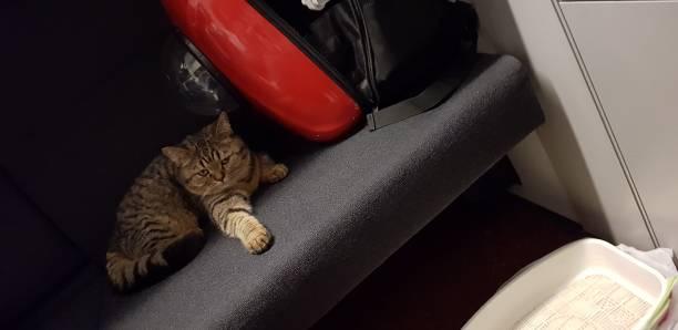 scottish straight cat - batalina cats стоковые фото и изображения