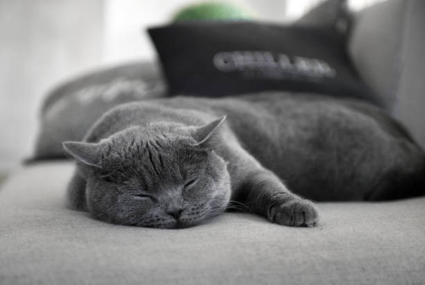 İskoç düz kedi uyku stok fotoğrafı