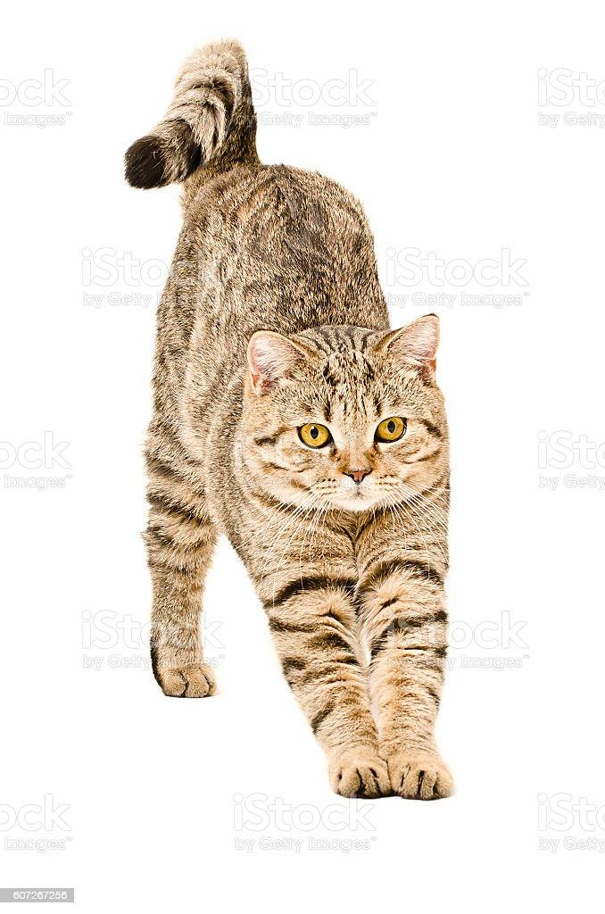 Scottish Straight cat that stretches stock photo