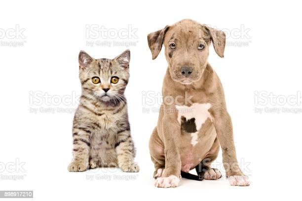 Scottish straight kitten and pitbull puppy picture id898917210?b=1&k=6&m=898917210&s=612x612&h=mfkvjn0l uion0eyomf48fla7qashux1vtjo5j1lxss=