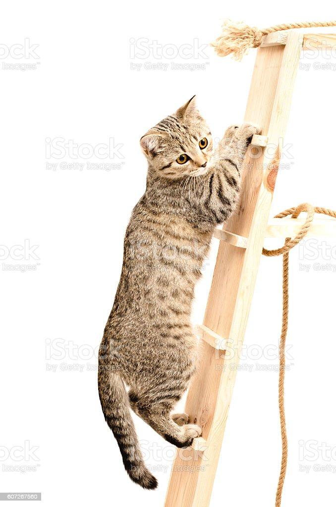 Scottish Straight kitten climbing the wooden stairs stock photo