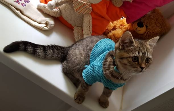 Cтоковое фото Scottish straight kitten in clothes