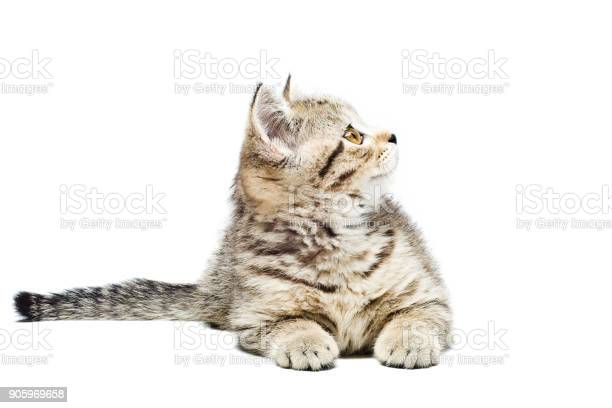 Scottish straight kitten lying isolated on white background picture id905969658?b=1&k=6&m=905969658&s=612x612&h=fmbidwbt f25myetiwkzukn4gpy1r walkqu13pmu7e=