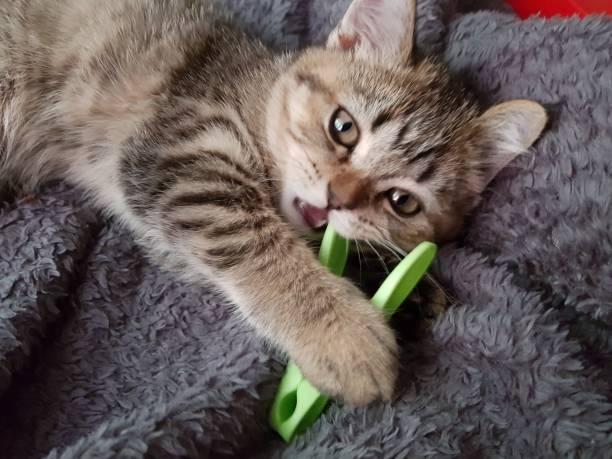 Cтоковое фото Scottish straight kitten
