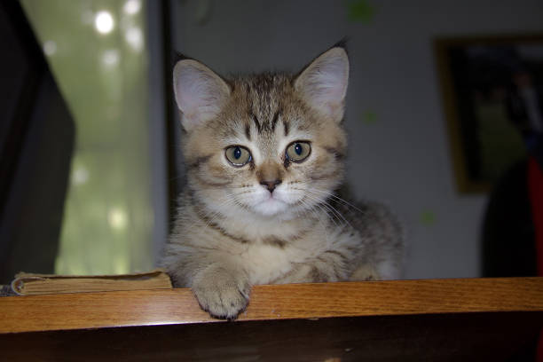 Cтоковое фото Scottish straight kitty