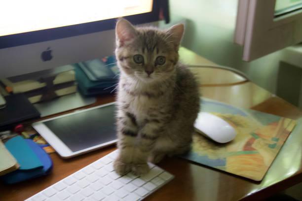 scottish straight kitty - batalina cats стоковые фото и изображения