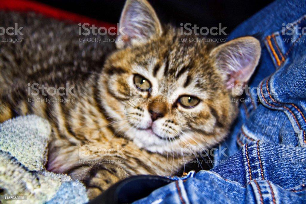 Scottish straight kitty стоковое фото