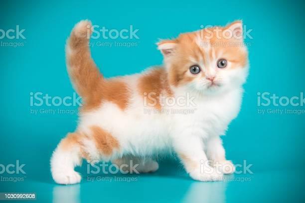 Scottish straight longhair cat on colored backgrounds picture id1030992608?b=1&k=6&m=1030992608&s=612x612&h=q pvz25giyj so1jesi2yrwu4wojttoiiehtidbuhrm=