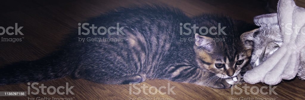 Scottish stright stock photo