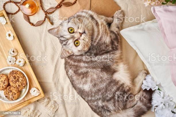 Scottish tabby cat lying in bed at home winter or autumn weekend picture id1092579974?b=1&k=6&m=1092579974&s=612x612&h=x9xxinrfgrerkasebpqkf79ojrcgmfc7ck1vs6ckibq=