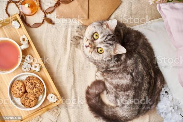 Scottish tabby cat lying in bed at home winter or autumn weekend picture id1092580010?b=1&k=6&m=1092580010&s=612x612&h=6dploqnukn4higbkj0idkkll 78reekilg2cmno6sa8=