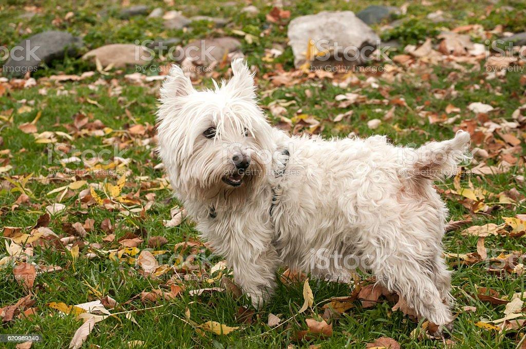 Scottish terrier closeup foto royalty-free