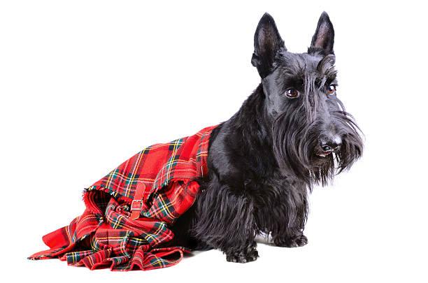 Scottish terrier in a kilt picture id471662429?b=1&k=6&m=471662429&s=612x612&w=0&h=uthv95tzihr cjhbvgqyq2 c0fmsfwktbpopevvt8hs=
