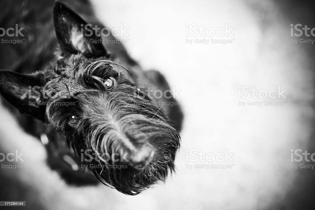 Scottish Terrier looking up royalty-free stock photo