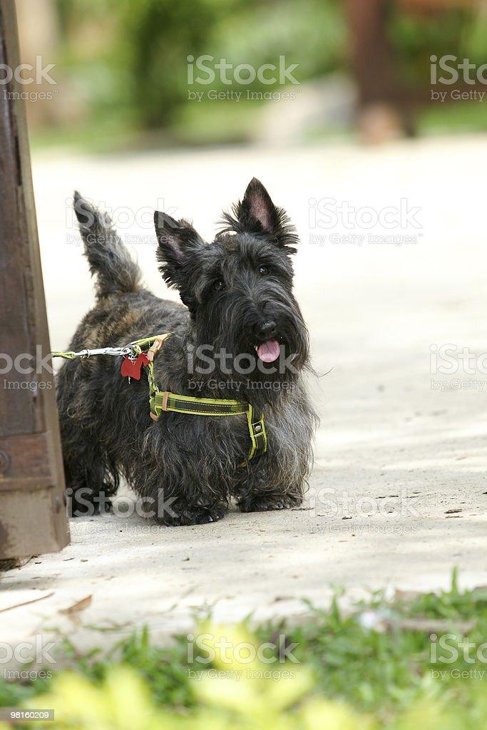 Scottish terrier royalty-free stock photo