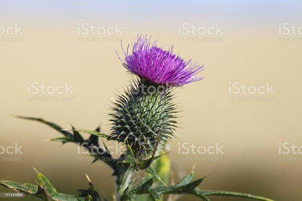 Scottish Thistle Flower (XL) stock photo