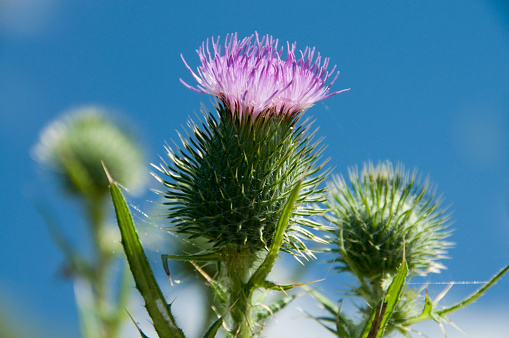 Symbols of Scotland, thistles against blue sky in summer.