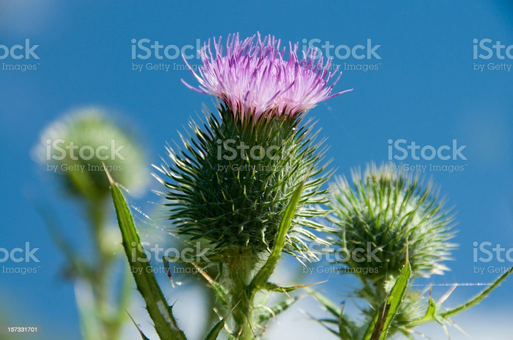 Scottish Thistle stock photo