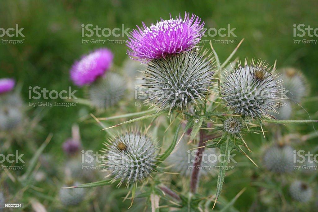 Scottish thistle royalty-free stock photo