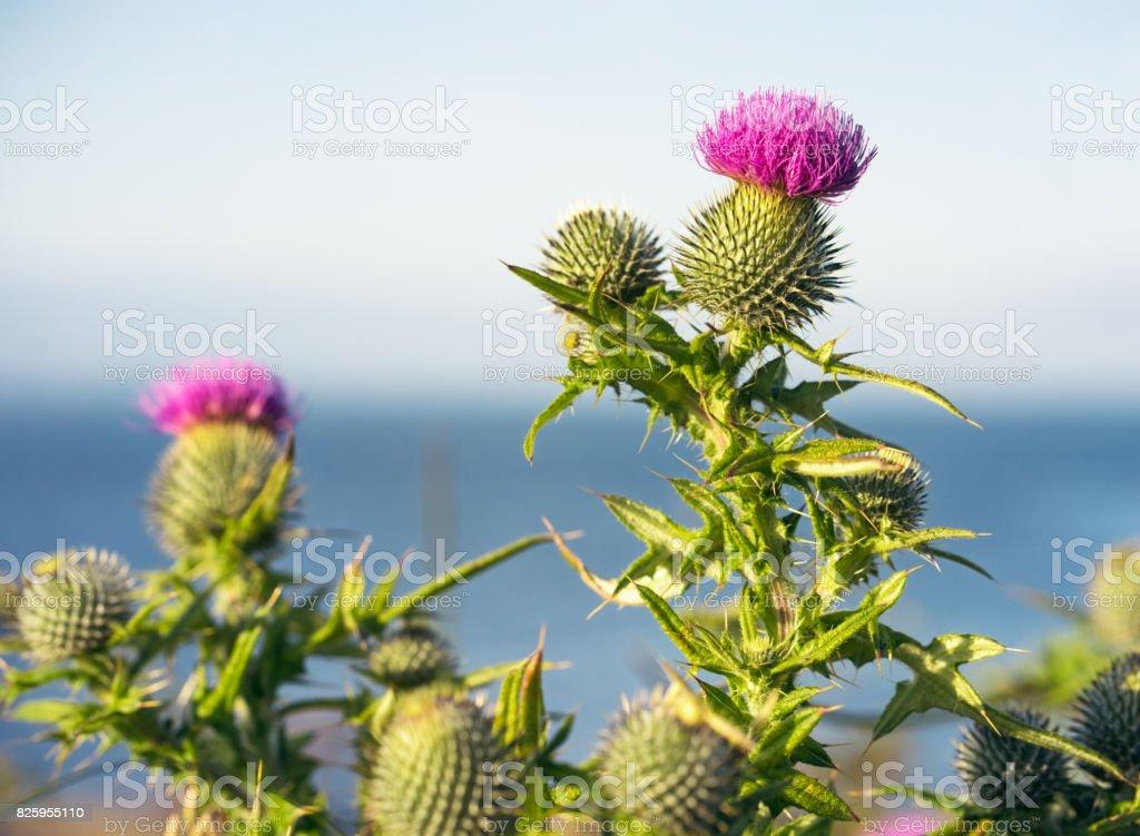Scottish thistles in summer stock photo