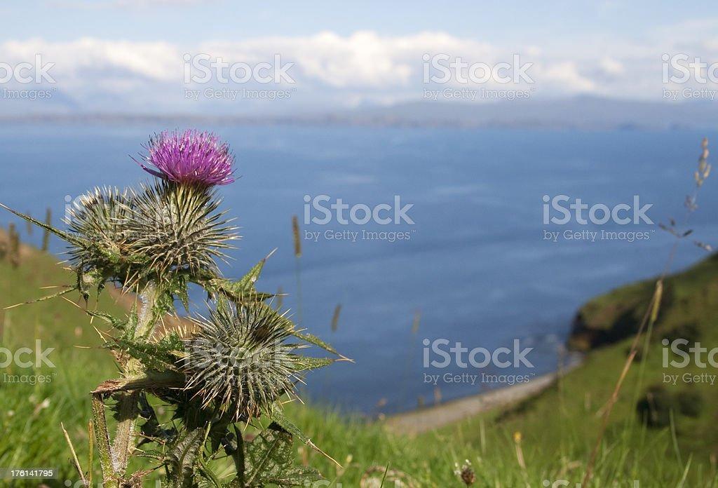 Scottish tistle royalty-free stock photo