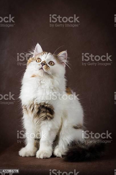 Scottish tortoiseshell and white straight kitten picture id477353778?b=1&k=6&m=477353778&s=612x612&h=xppbea plc0bcwzhvtvcwkrvfthcp0ulfdhbta4rgx0=