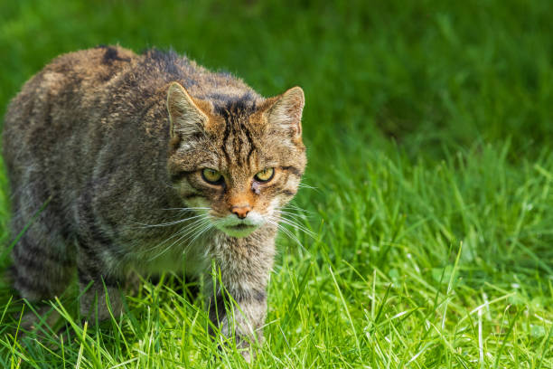 Scottish Wildcat Scottish Wildcat (Felis silvestris) prowling in the wild carnivorous stock pictures, royalty-free photos & images