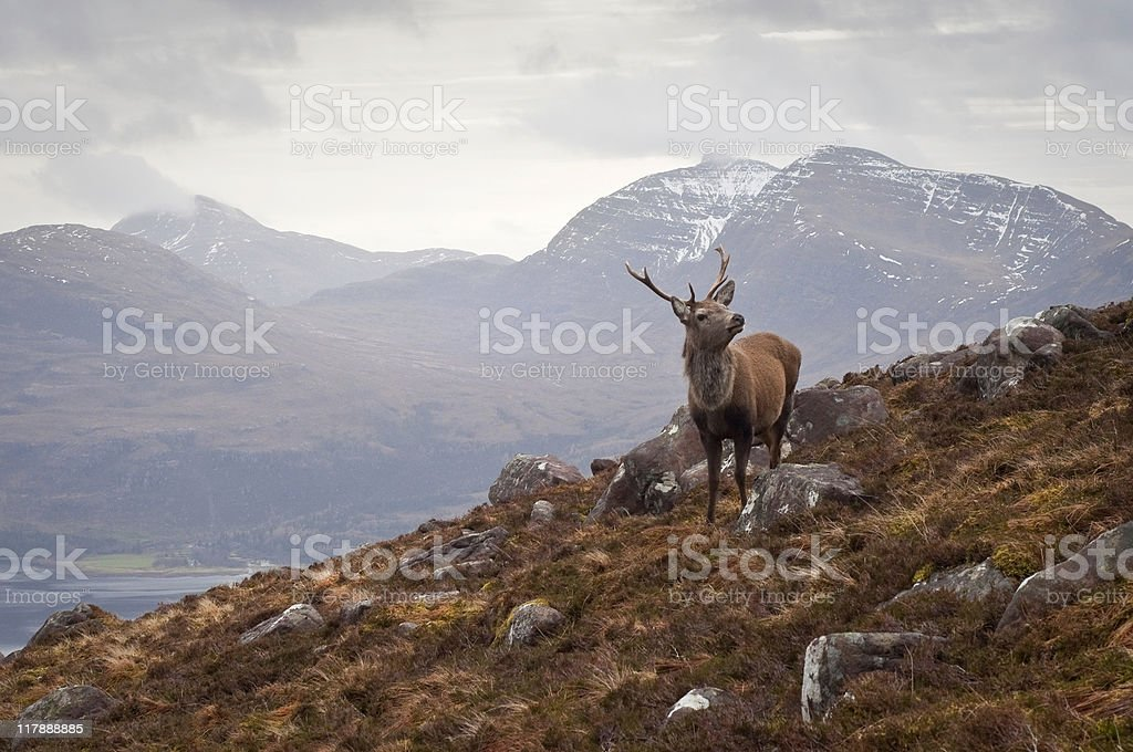 Scottish wilderness, wild stag stock photo