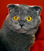 The Scottish Fold is a breed of domestic cat with a natural dominant-gene mutation that affects cartilage throughout the body, causing the ears to fold.