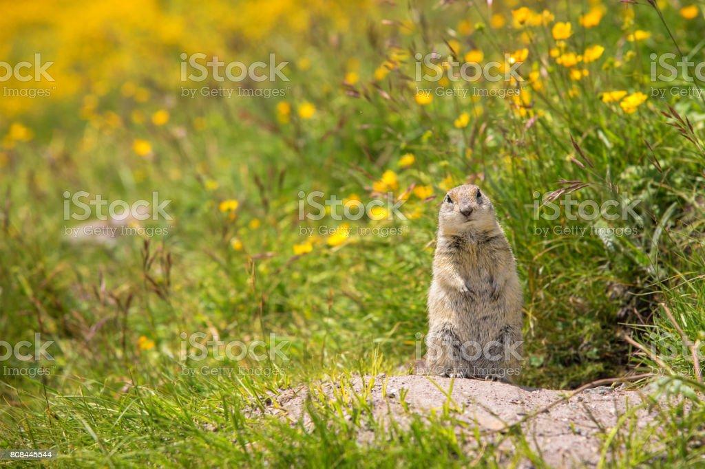 Scouting caucasian Ground Squirrel stock photo