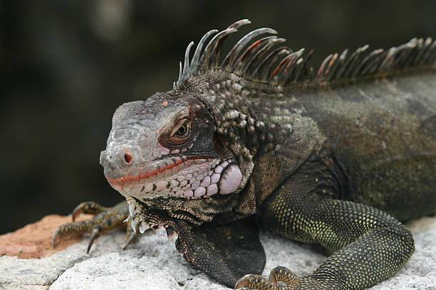 Scowling Iguana stock photo