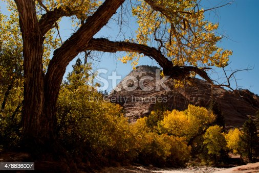 Scraggly Cottonwood Tree in Zion National Park Utah